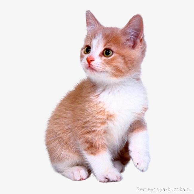 котенок рыжий с белым фото