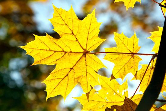 красивые желтые листья