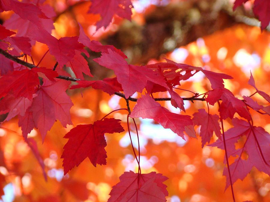 осенние ветки с красными листьями