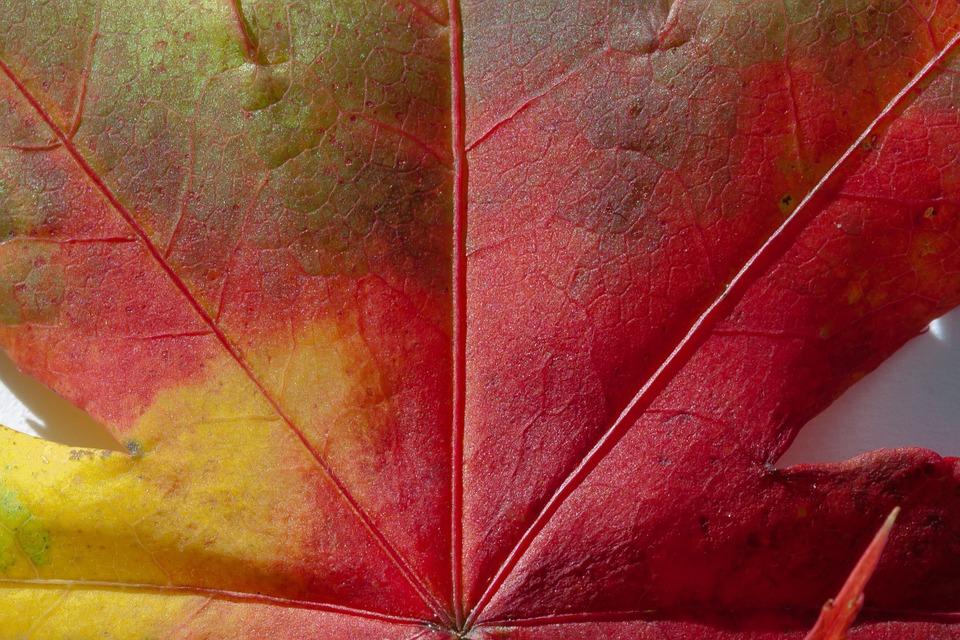 красивый кленовый лист