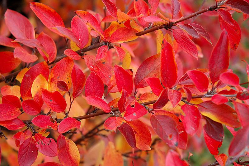 красные листья на ветке фото