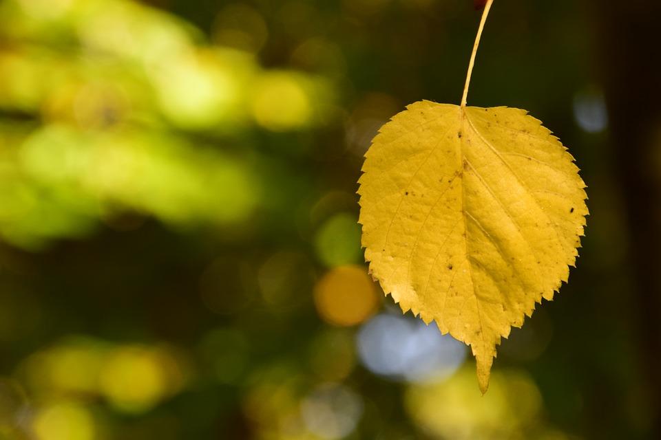 красивый лист липы