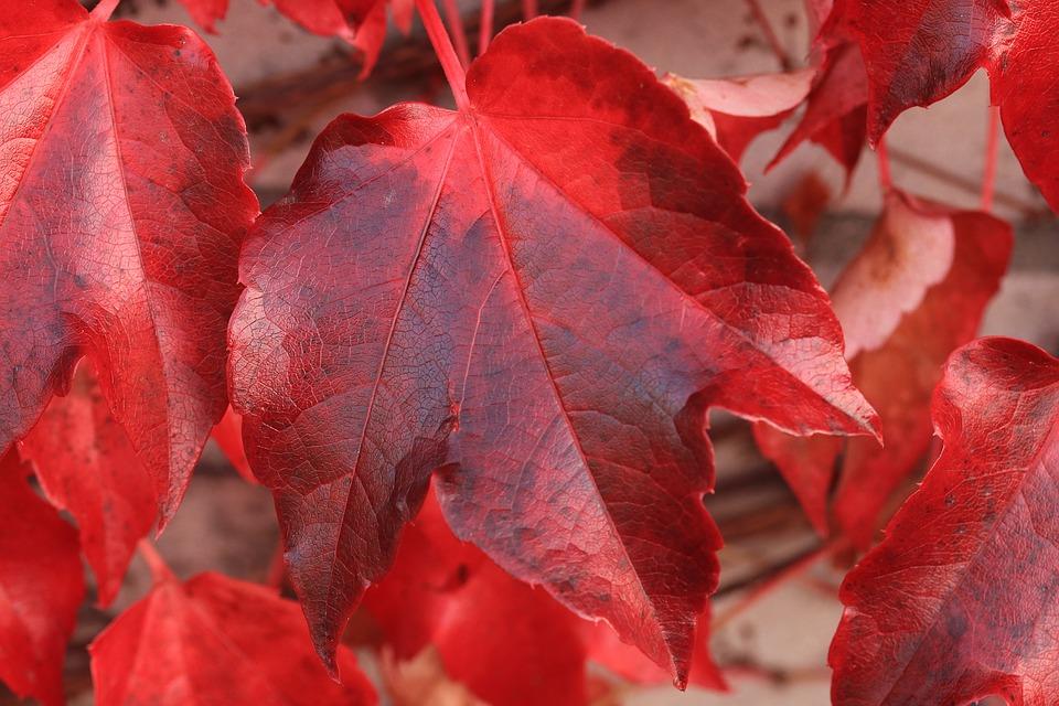 красный лист клена вблизи