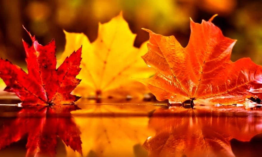 картинки кленовые листья у воды