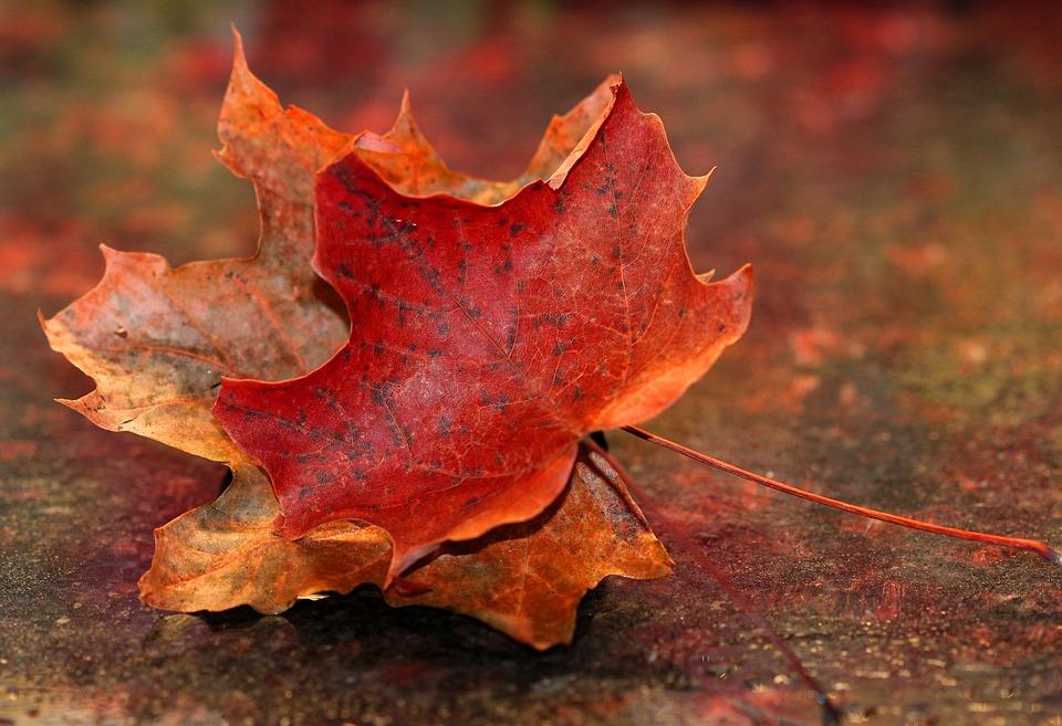 красивый кленовый лист на земле