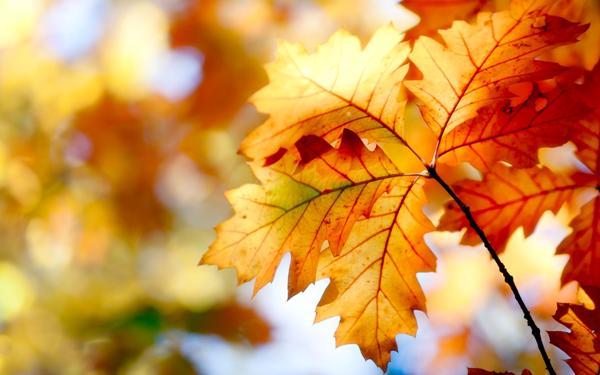 красивый дубовый лист на ветке