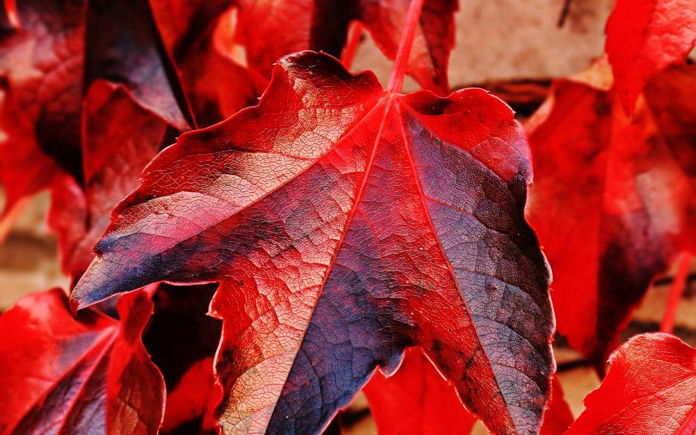 красный осенний лист с близкого расстояния фото