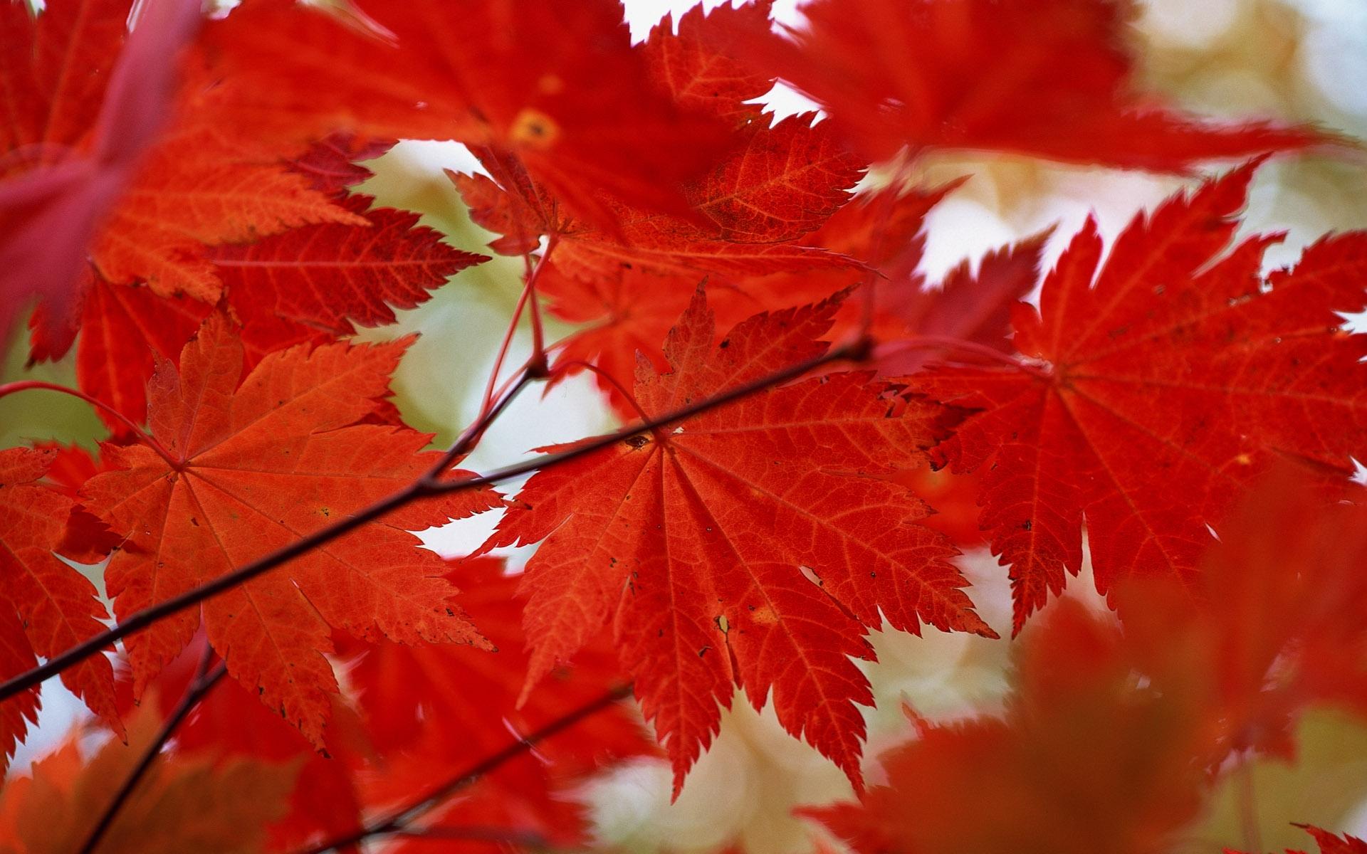 красивые листья клена