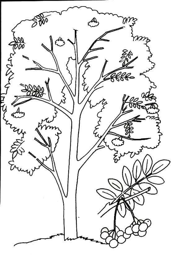 раскраска дерево рябина и рябиновый лист