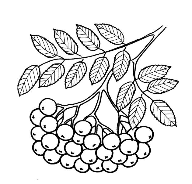 раскраска листья ветка рябины